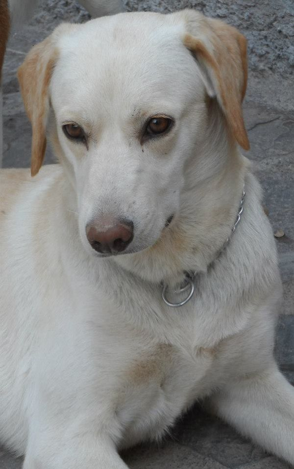 Rama Labrador Mix