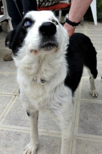 6 year old Border Collie