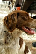Charley one year old Welsh Springer Spaniel