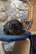 Fawn female tabby 5 months