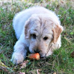 dog-carrot