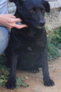 Nora. Beautiful and shiny smallish lab mix, shy and quiet and so sweet. 8 years old.