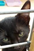 Marcello – Beautiful black male kitten