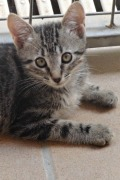 Tigra – sweet female tabby kitten