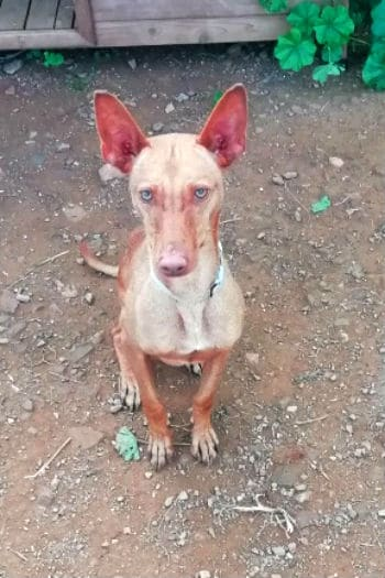 Red, young male Podenco