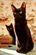 Mister – beautiful young black male cat