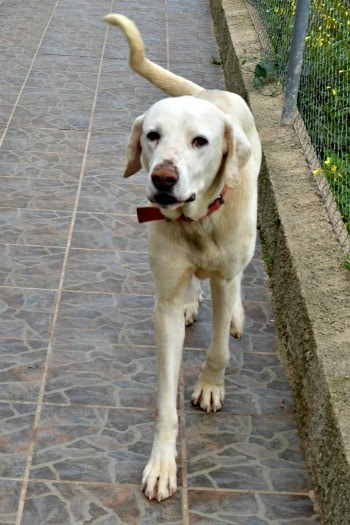 Guertain is a 2 year old dog looking for a home