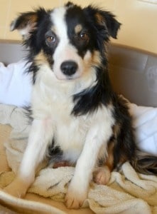 Star miniature border collie