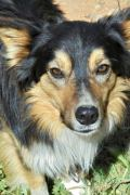 Blue – 2 year old male Border Collie
