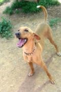 Canijo – male Podenco puppy looking for a new home