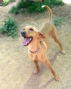 Canijo 18 month old Podenco male needs a home