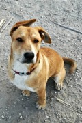 Charlie – friendly male cross looking for a home