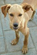 RESERVED: Ernesto – Sweet Podenco mix male puppy
