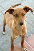 RESERVED: Etta – Female Podenco puppy seeks loving home