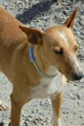 Lainy – 2 year old female Podenco seeks forever home