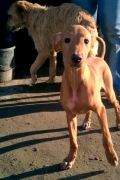 Carnijo – male Podenco puppy looking for a new home