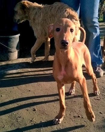 Carnijo Podenco puppy