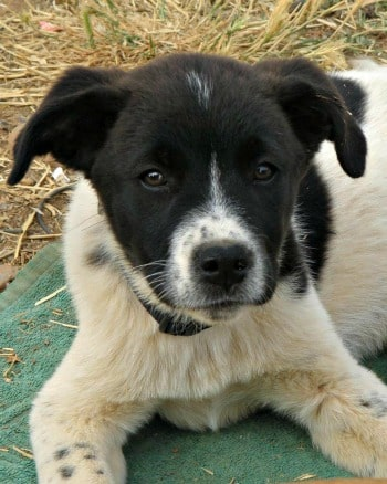 Black and white Mastín pup called Boo looking for a forever home