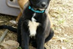 Black and white Mastín puppy called Bronson is looking for a new home