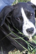 Daniel – Pointer puppy looking for a loving home