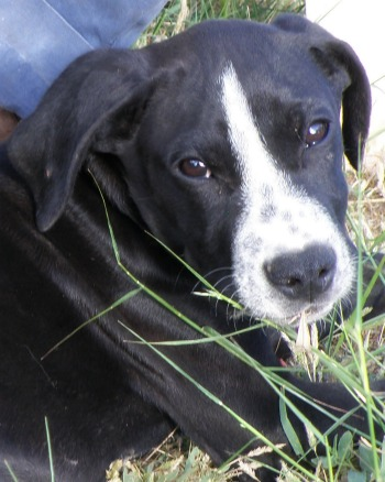 Black and white Pointer puppy called Daniel lying on the grass