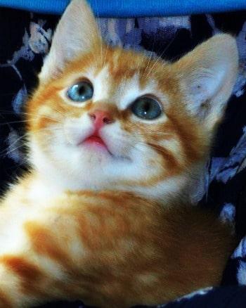Ginger kitten called geoffrey needs a home