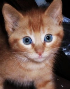 Close-up image of 8 week old ginger kitten with blue eyes