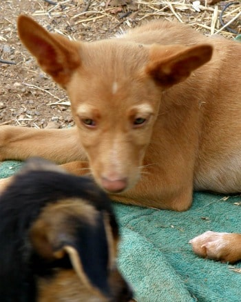 3 month old Podenco puppy called Koto looking for a forever home