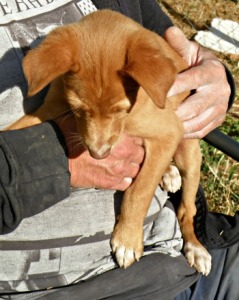 3 month old male Podenco puppy called Koto sitting on a lap
