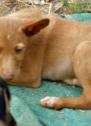 Koto – 3 month old male Podenco puppy
