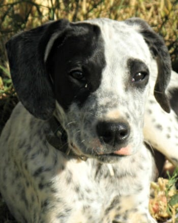 Close up of black and white male pointer puppy called Matteo sitting on the grass