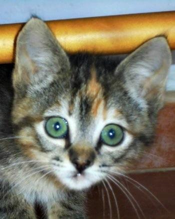 Green eyed tabby kitten called Monkey