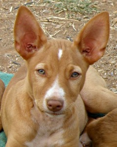 Nilo, Podeno puppy looking for a forever home