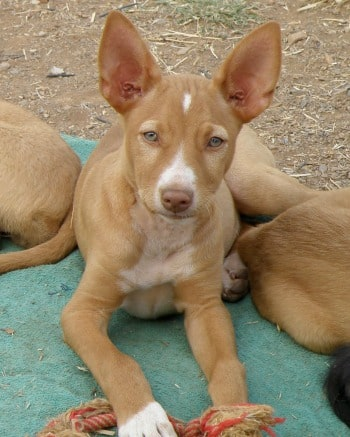 Podenco puppy called Nilo with beautiful eyes