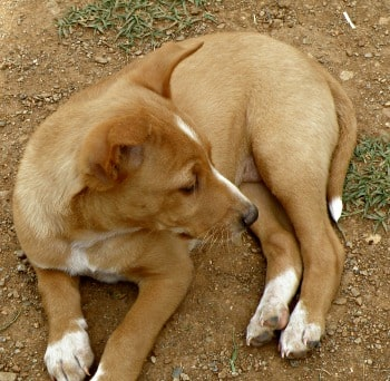 Female Podenco puppy called Noa looking for a forever home