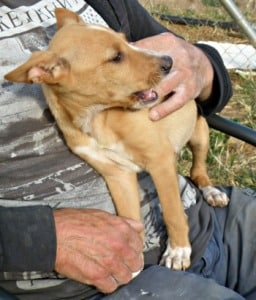 Sweet female Podenco puppy called Noa sitting on a lap