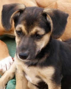 Sweet female terrier puppy called Sally looking for a home