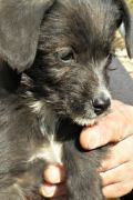 Sammy – black and white male Terrier pup in need of a home