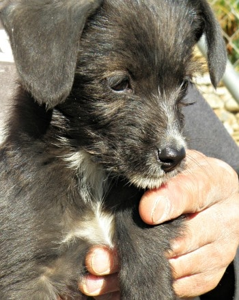 Sweet black and white male terrier called Sammy looking for a home