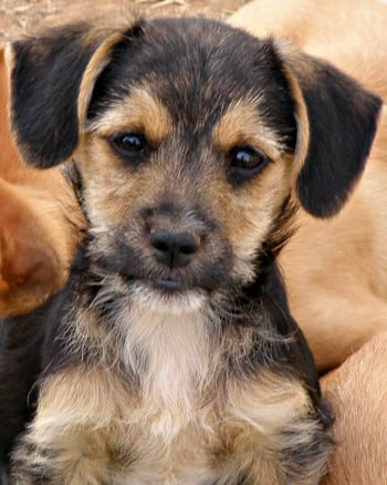 Sweet male Terrier puppy called Sonny needs a home