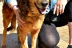 Amber female dog rescued from drowning happy now and looking for a new home