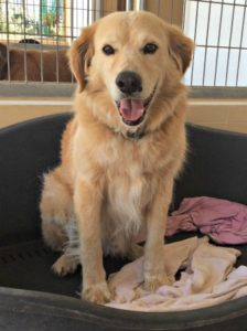 9 year old retriever looking for a new home