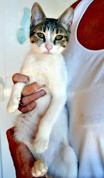 Gatito blanco atigrado femenino de Mansi para la adopción