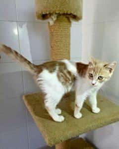 Friendly ginger and white kitten