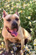 Rocky – Pit Bull/American Bulldog male