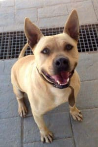 Rocky for adoption. Pitbull American Bulldog