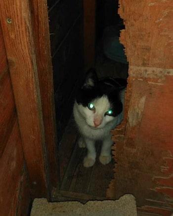 Gato macho blanco y negro de dos años