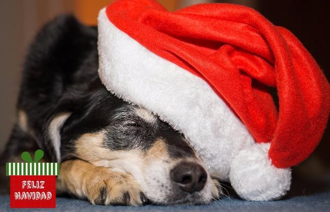 Sleeping dog wearing a Santa hat