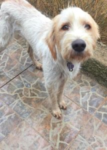Coco two year old female lurcher