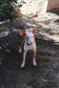 Nela – 3 year old female Podenco